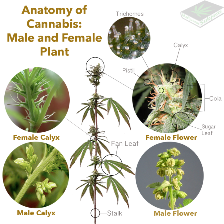 anatomy-of-cannabis5.png