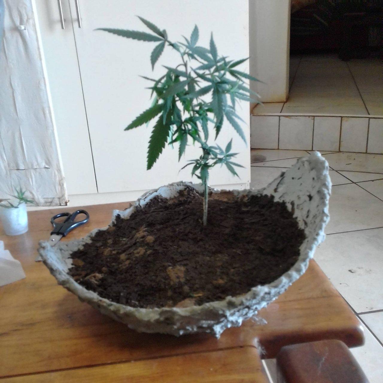 Bonsai with main leaves.jpg