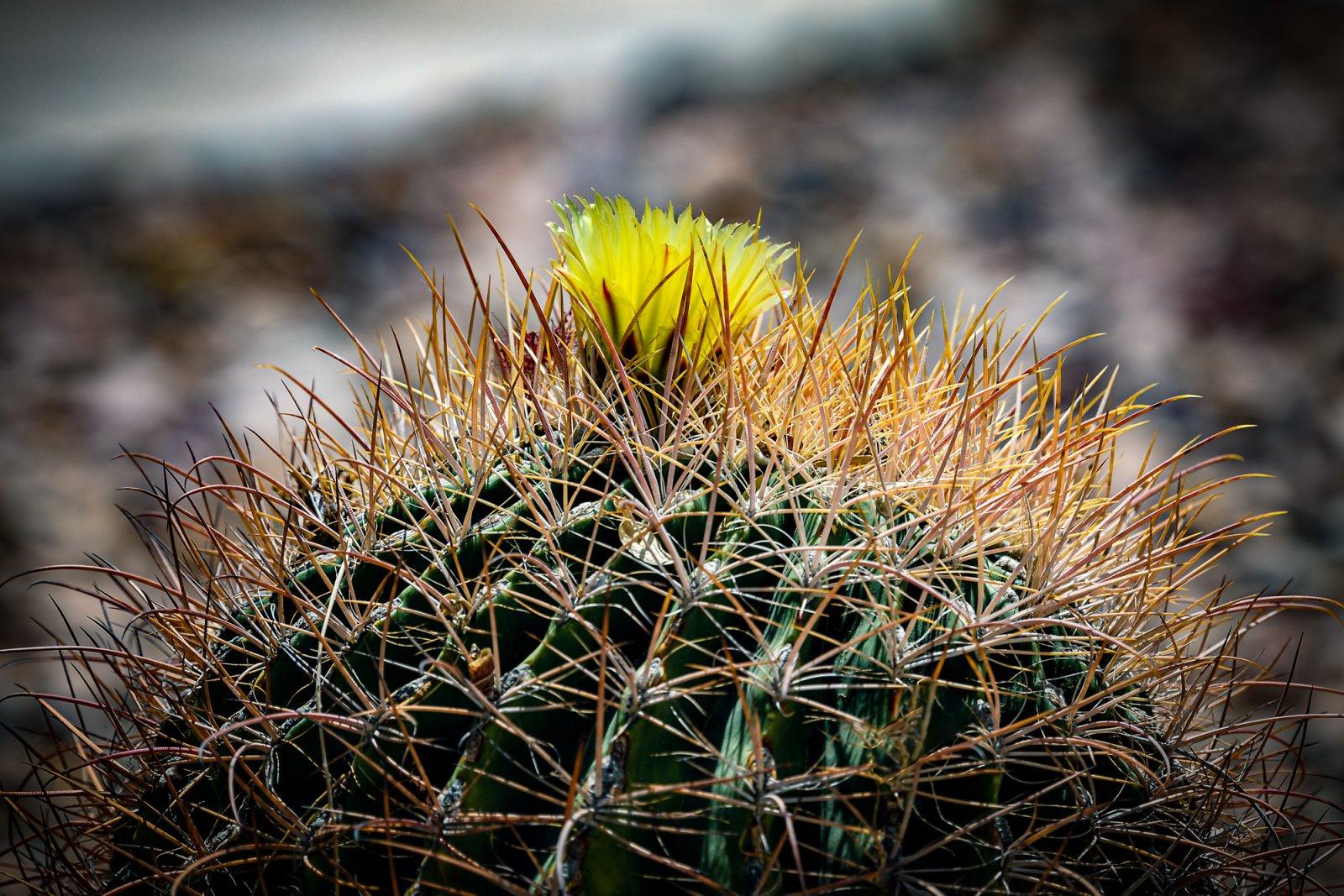 Cactus Flower small-4.jpg