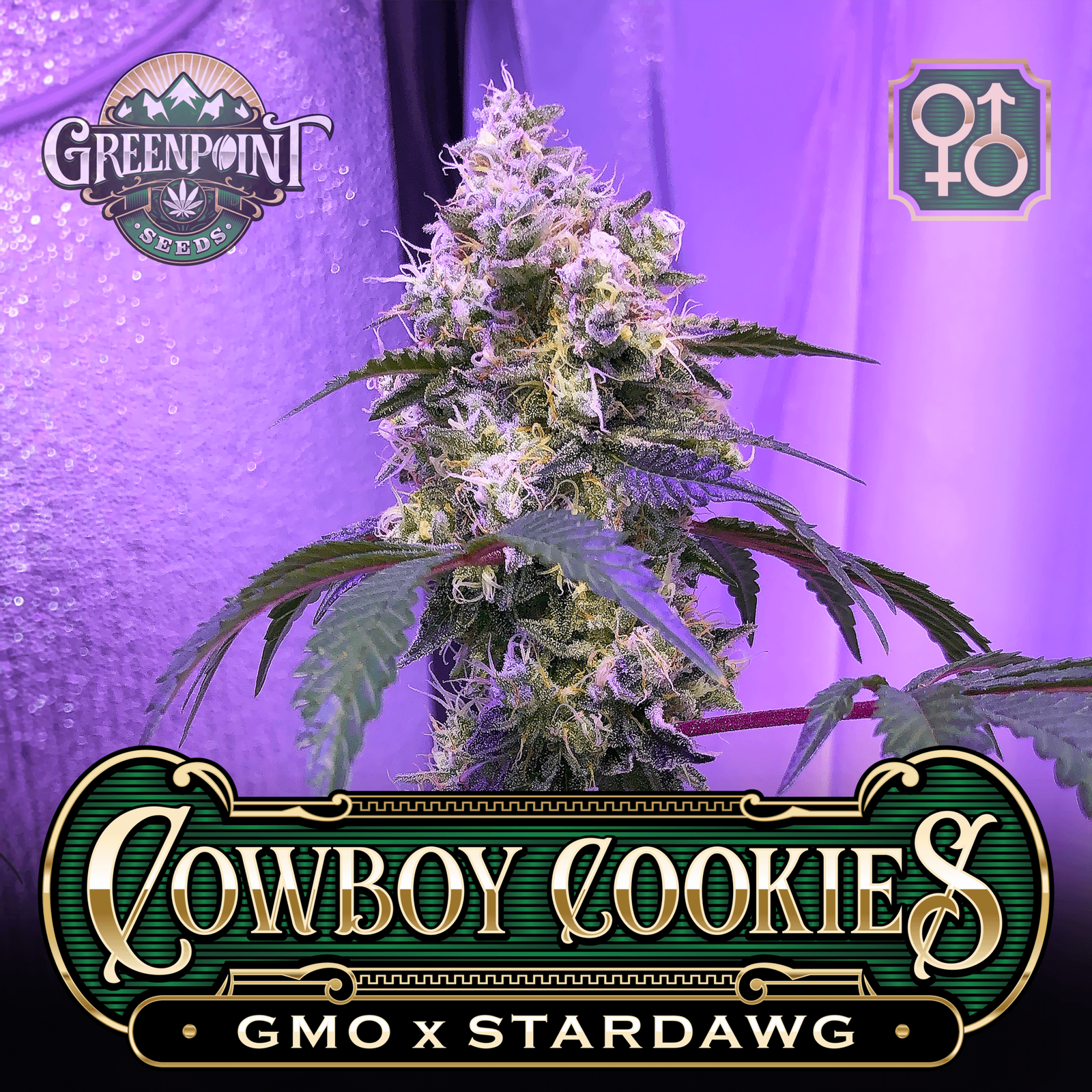 cowboy-cookies-gmo-stardawg-greenpoint-seeds_1a_1920px-c.png