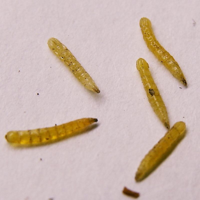 Day_61_larva.JPG