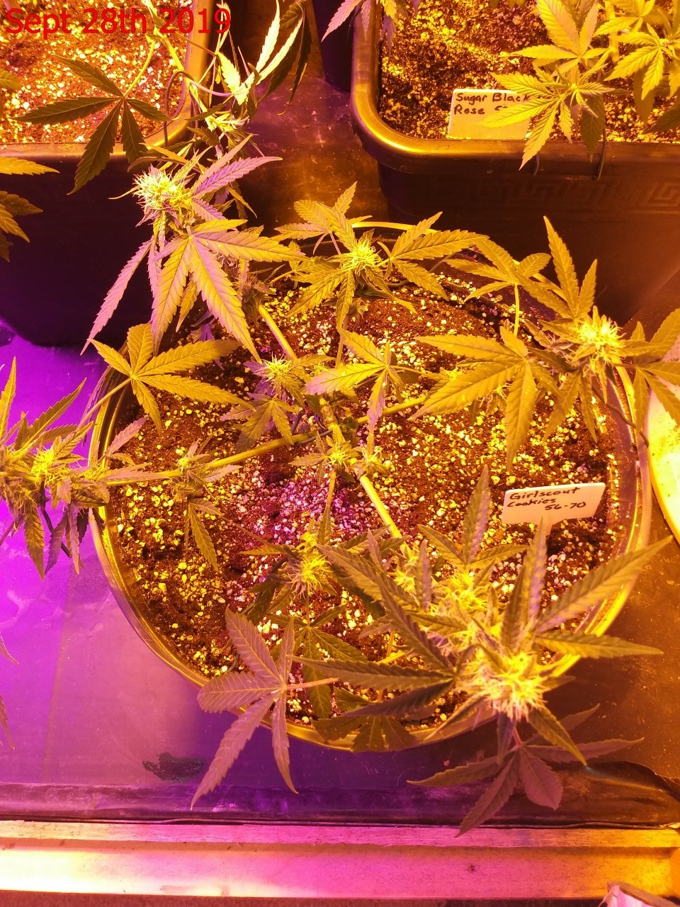 Girl Scout Cookies Auto.jpg