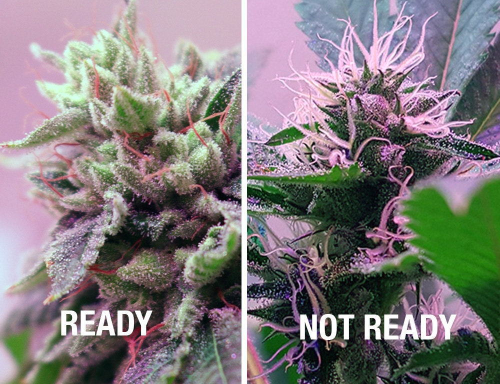 how-to-tell-a-marijuana-plant-is-ready-to-harvest-c62052097c07fb01.jpg