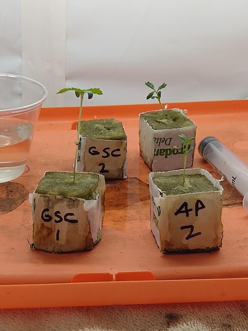 tri leaf seedling.jpg