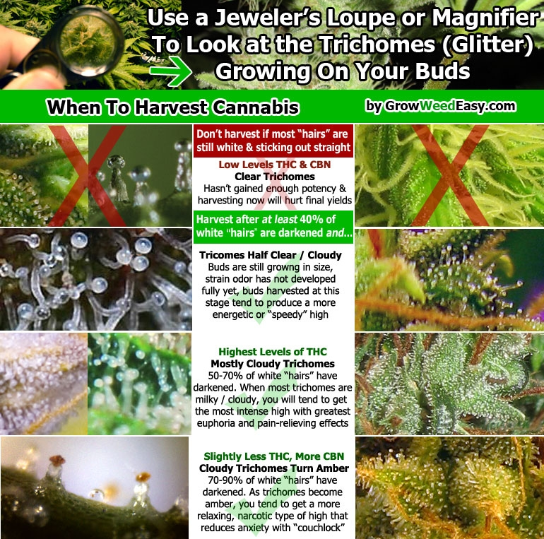 when-to-harvest-cannabis-diagram.jpg