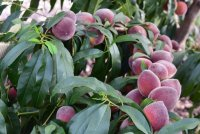 peach tree in the front yard.JPG