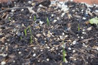 green onion sprouting.JPG