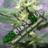 420BlazeItUp