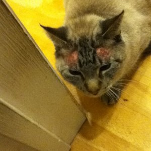 Cat treated for allergic chronic itching (before)