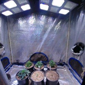 Pine Tar Kush - '79XmasBud in early veg under LED grow lights.