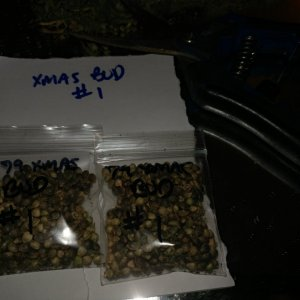 Hazeman Pine Tar Kush aka 79 Xmas Bud open pollen seed project and seed increase by icemud