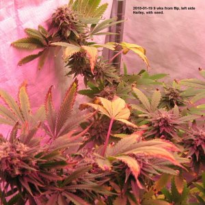 Harley 9 wks in flower LT.JPG