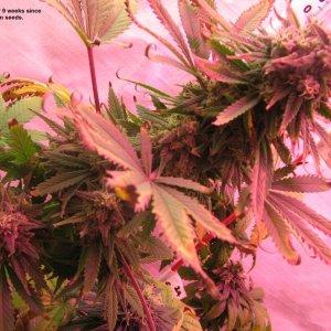 Harley 9 wks in flower RT.JPG