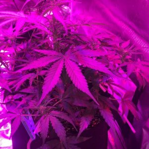 Northern Lights plant.jpg