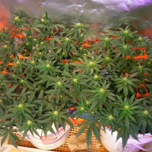 First Grow AGH-GOG - Copy.jpg