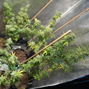Icemud_sour grapes_strain_hazeman_seed_breeding_project (1).jpg