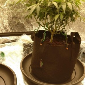 01.07.19 - Pheno 2 - Slow Girl - After feed and Foliar sprays 2.jpg
