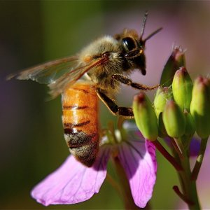 Honeybee Wiping its Face