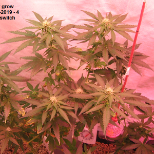 Autoberry grow lt..png