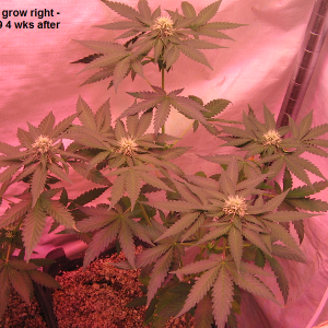 Autoberry grow Rt..png