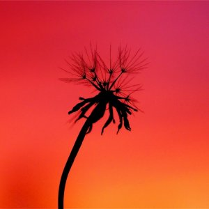 Wind Blown Dandelion at Sunset w/Silhouette Effect