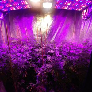 Bangi_Haze_F9_icemud_seeds_cannabis_led grow (3).jpg