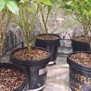 Lollipopped Girls, ready for Big Buds, 15-20lt pots