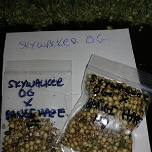 Icemud_Bangi_Haze_F9_cannabis_seed_breeding_project (1).jpg