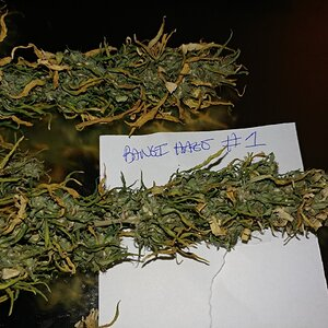 Icemud_Bangi_Haze_F9_cannabis_seed_breeding_project (2).jpg