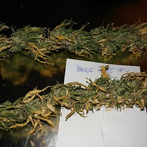 Icemud_Bangi_Haze_F9_cannabis_seed_breeding_project (4).jpg