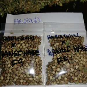 Icemud_Bangi_Haze_F9_cannabis_seed_breeding_project (11).jpg