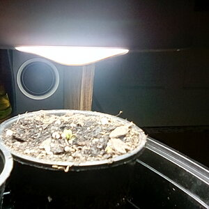Putting compact fluorescent three inches from newly emerged seedling watch my results.Day 1 three hours above soil.