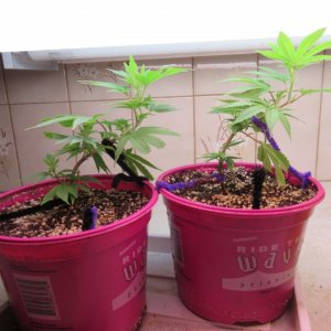 Blue Dream Clones