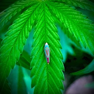 Candy Striped Leaf Hopper On Blue Dream