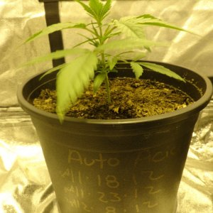 sweet mango auto grow