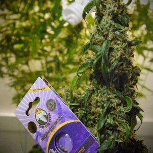 Crop King Seeds' Jack Herer Autoflowering