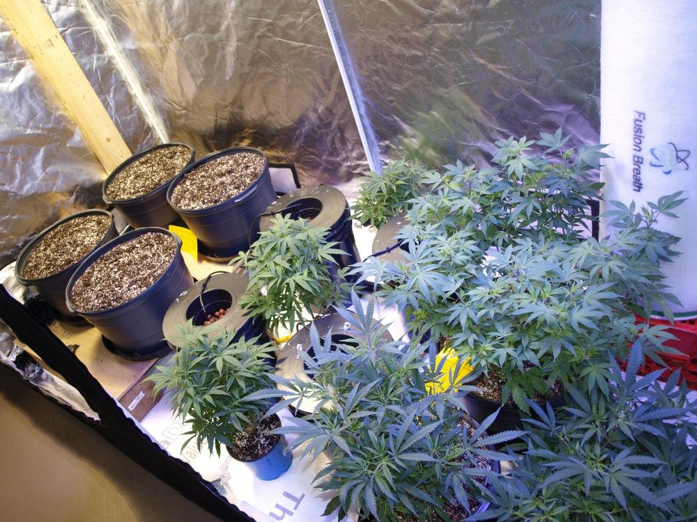 Dinafem Purple Orange & Critical Cure CBD Grow | 420 Magazine ®