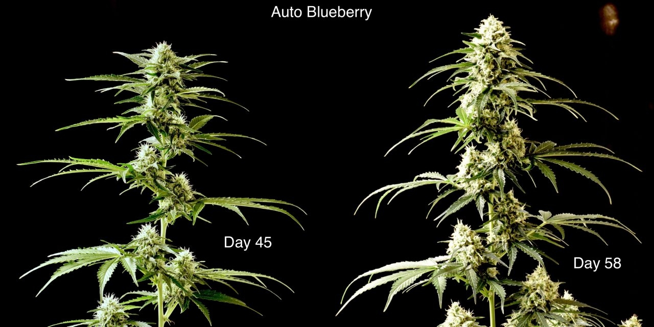 AutoBlueberry-2weeks.jpeg