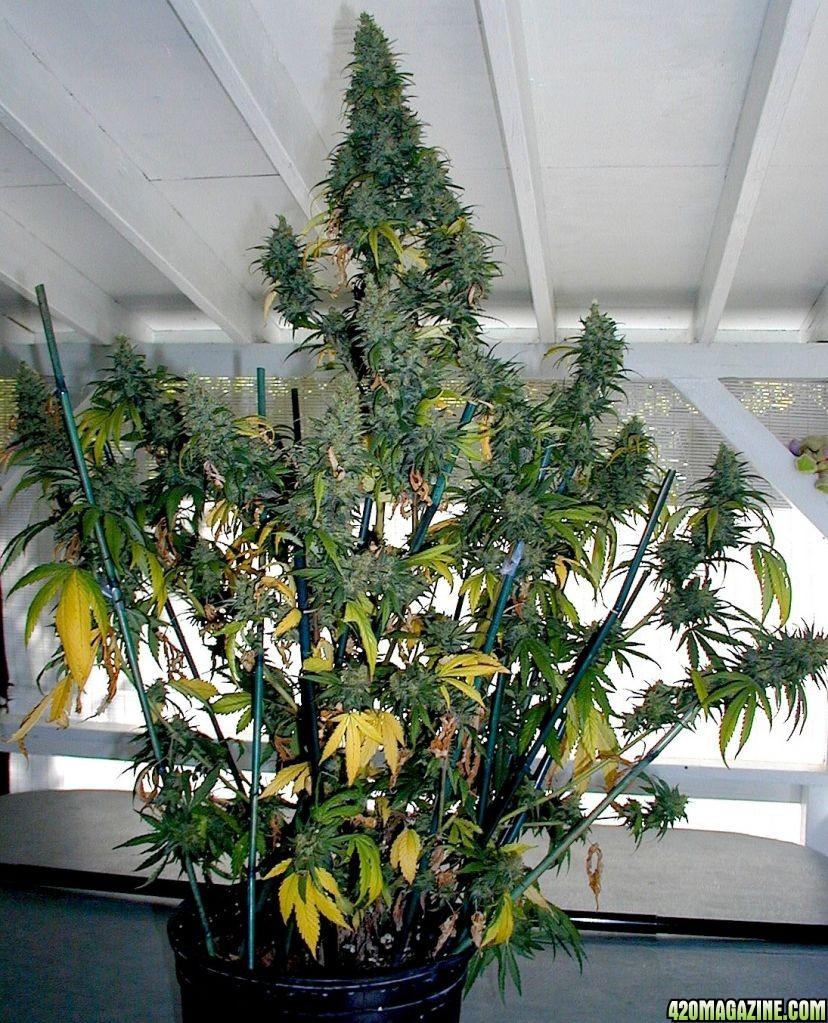 Blueberry Kush Plant #2 Harvest • 08/30/11 | 420 Magazine ®