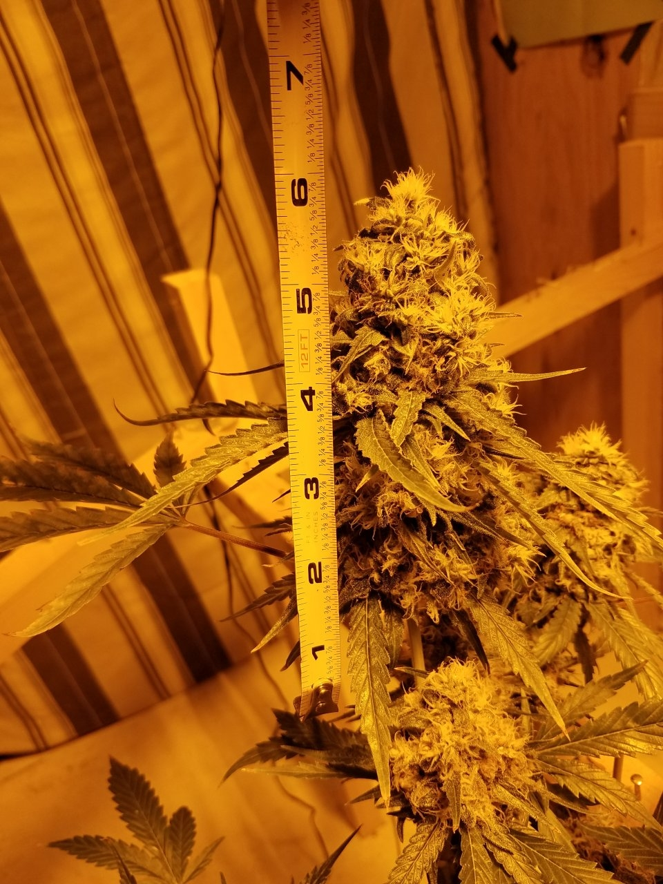 Clone Forest Dream #3 unstressed cola