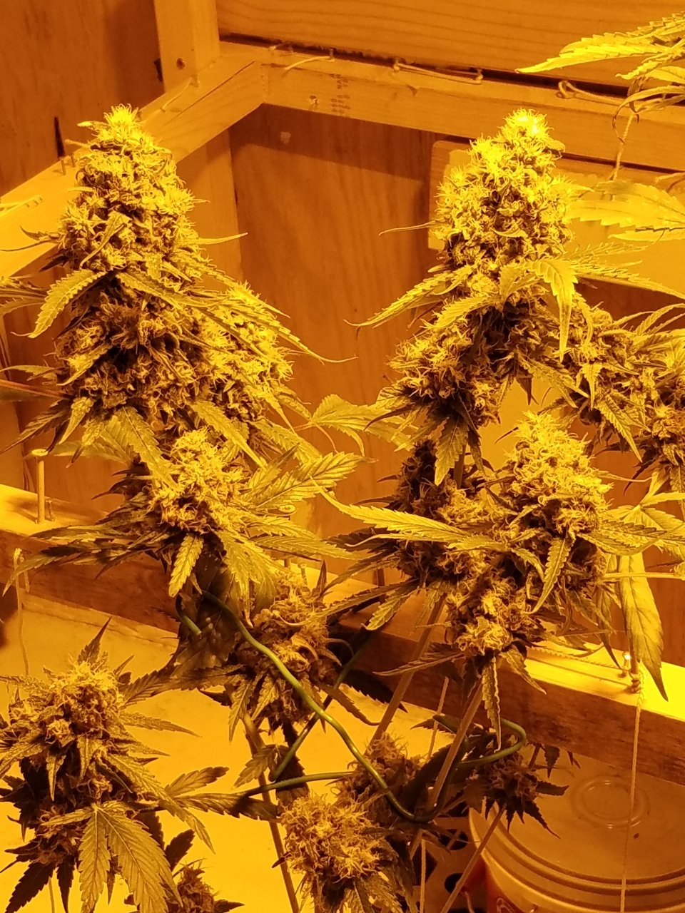 Clone Forest Dream #4 flower days #49 (drought) stressed colas