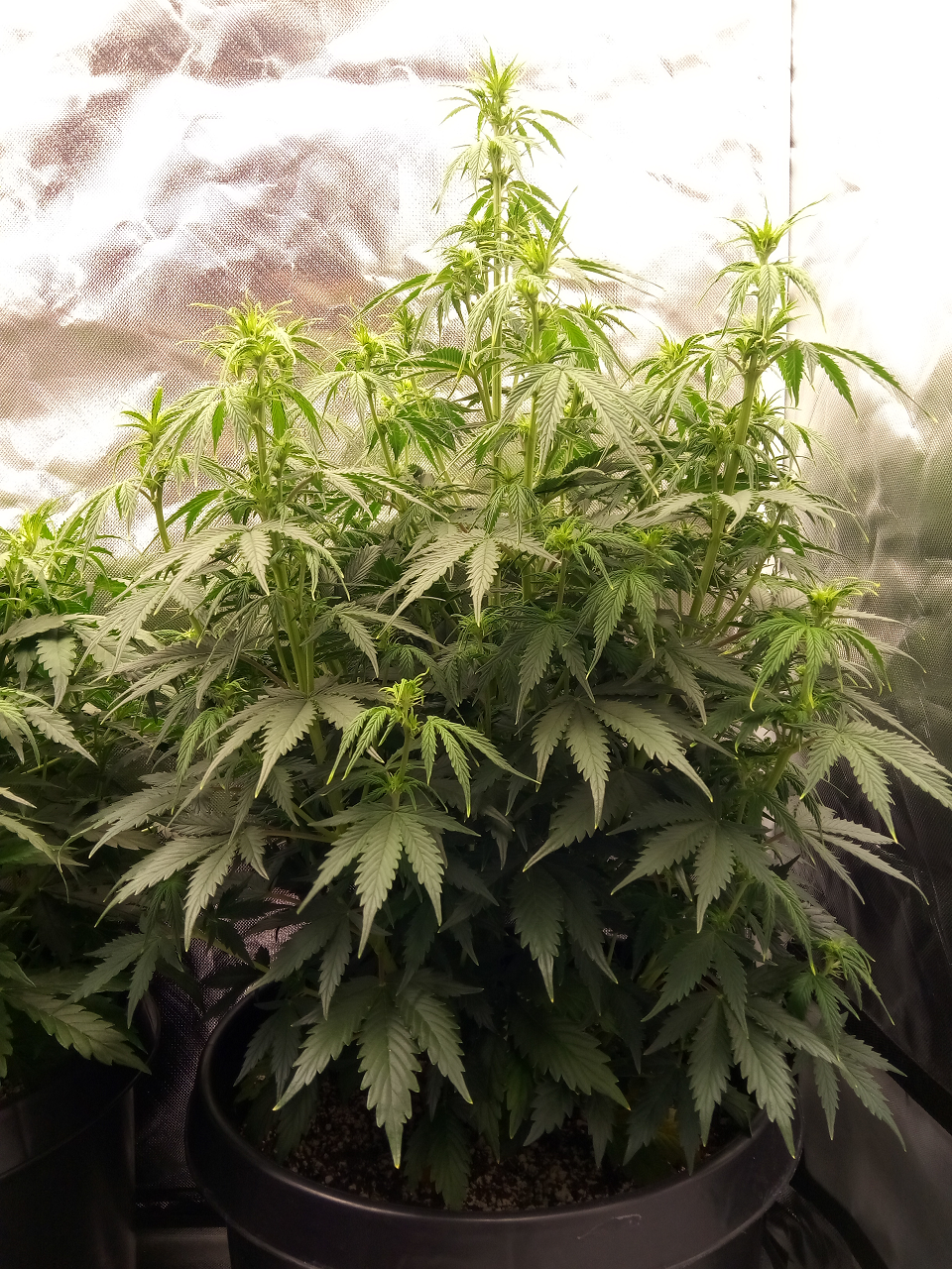 Fast Buds Girl Scout Cookies - Auto Fem - 44 Days Old - 2.png