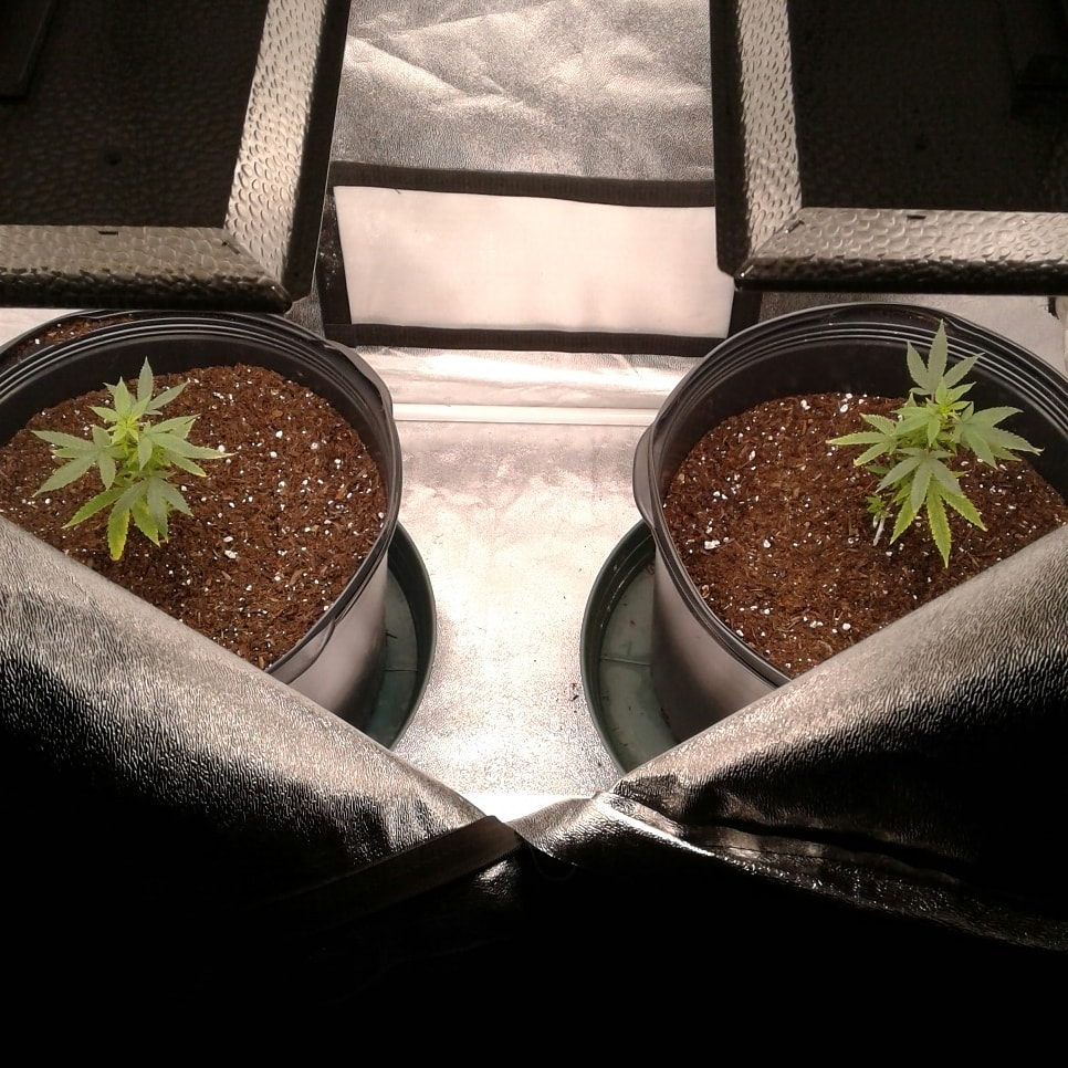 Two Black Peruvian Diesel under Mars Hydro TS1000