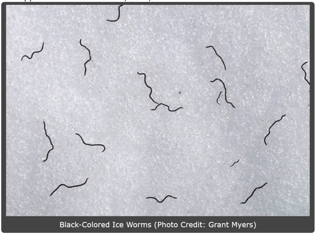 Exploring_The_Mystery_Of_Glacier_Ice_Worms_Articles_SummitPost.jpeg