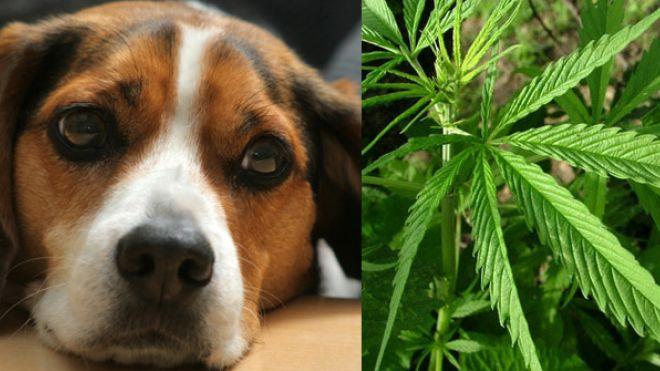 Cannabis_And_Pets.jpg