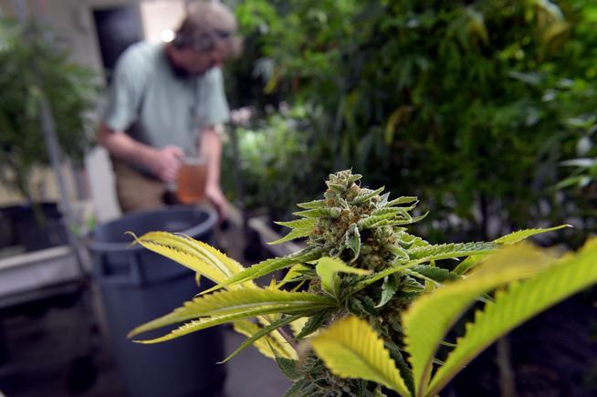 Cannabis_Flower4.jpg