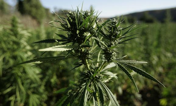 Cannabis_Flower_.jpg