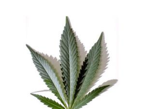 Cannabis_Leaf20.jpg
