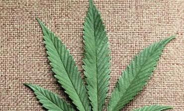 Cannabis_Leaf26.jpg
