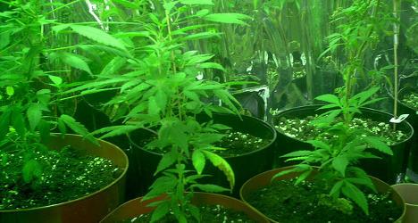 Cannabis_Plants15.jpg